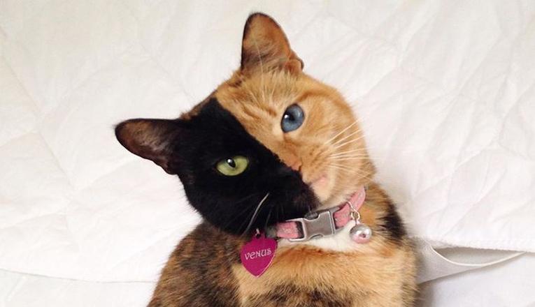 Anak Kucing Chimera Yang Langka Berhasil Ditemukan